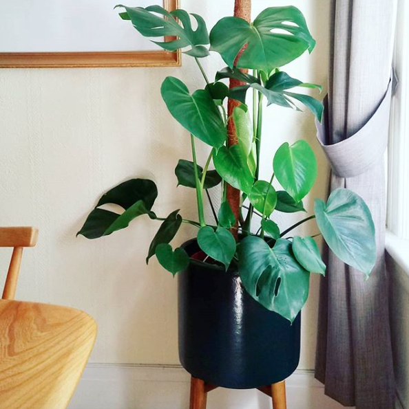 little monstera august 2018