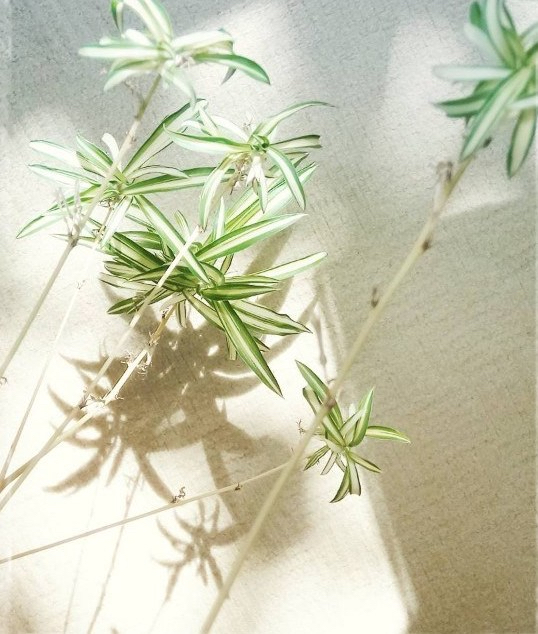 Spider plant babies July 2017