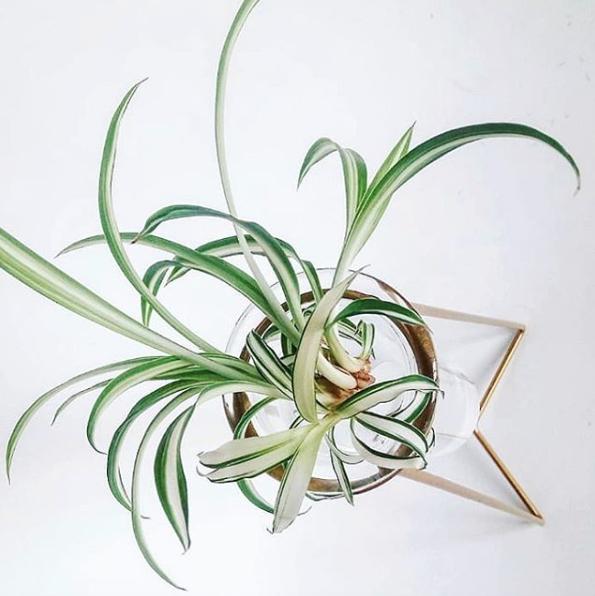 spider plant post1