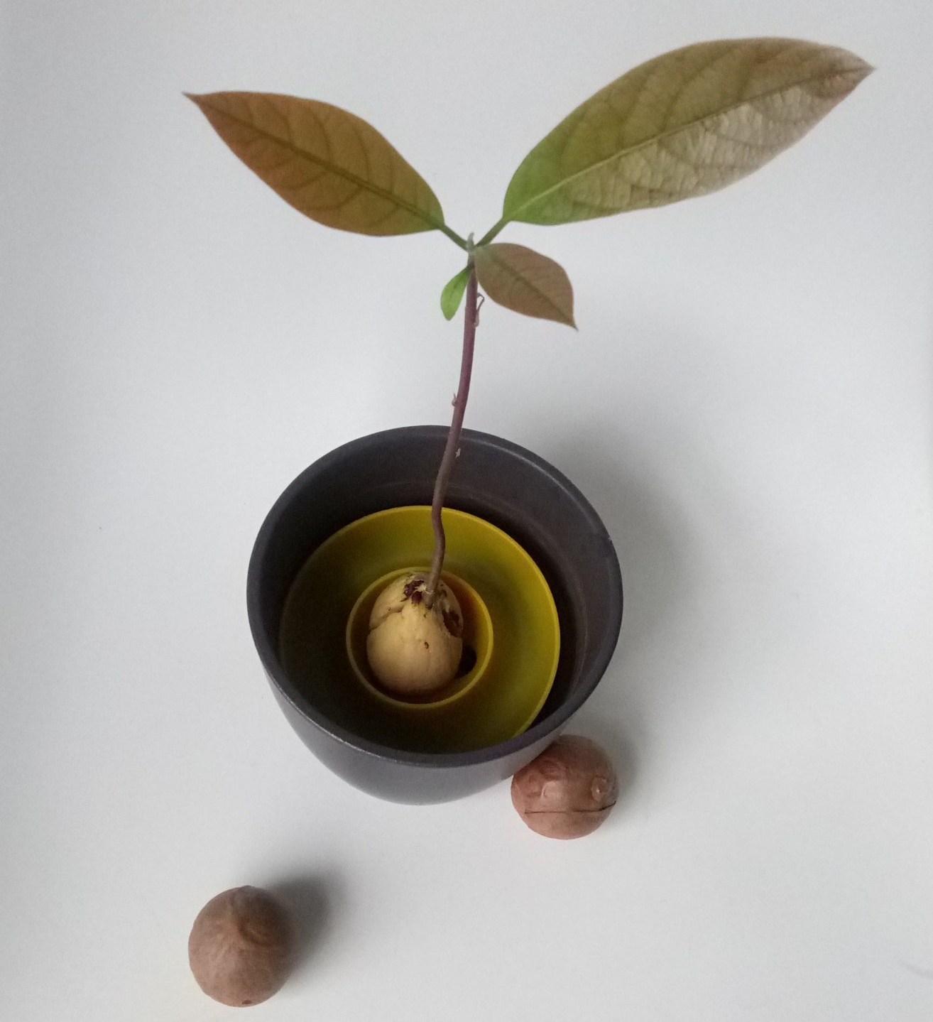 Avocado growing Why everyone should grow an avocado plant ...