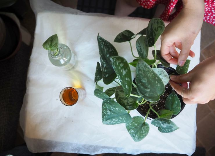 pothos from above