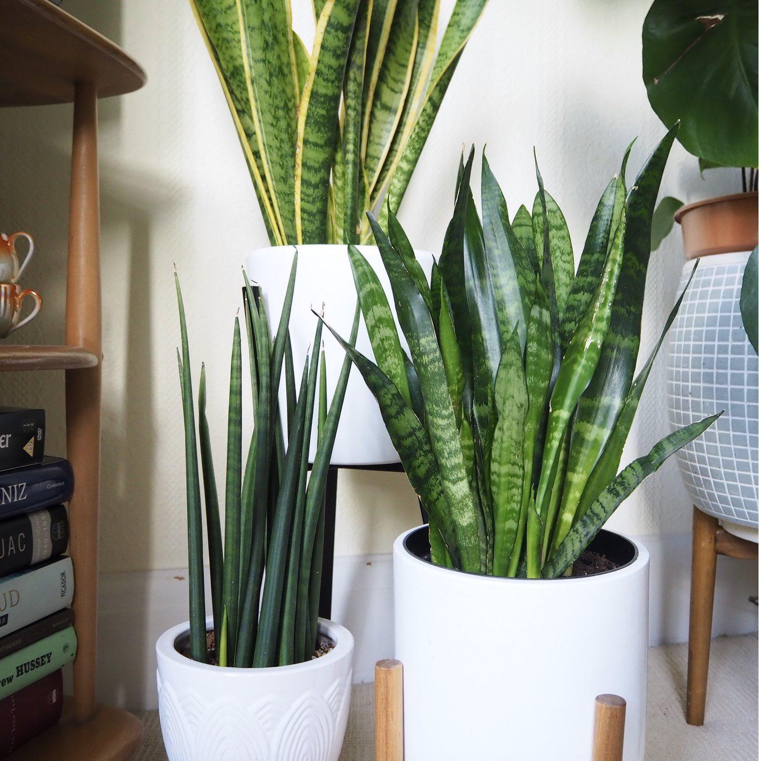 snake plant trio