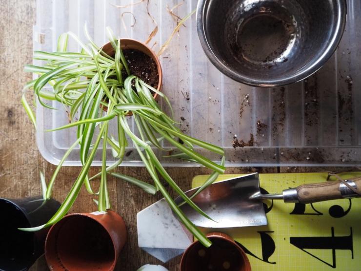 new spider plant