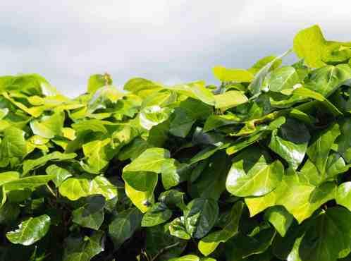 ivy 1