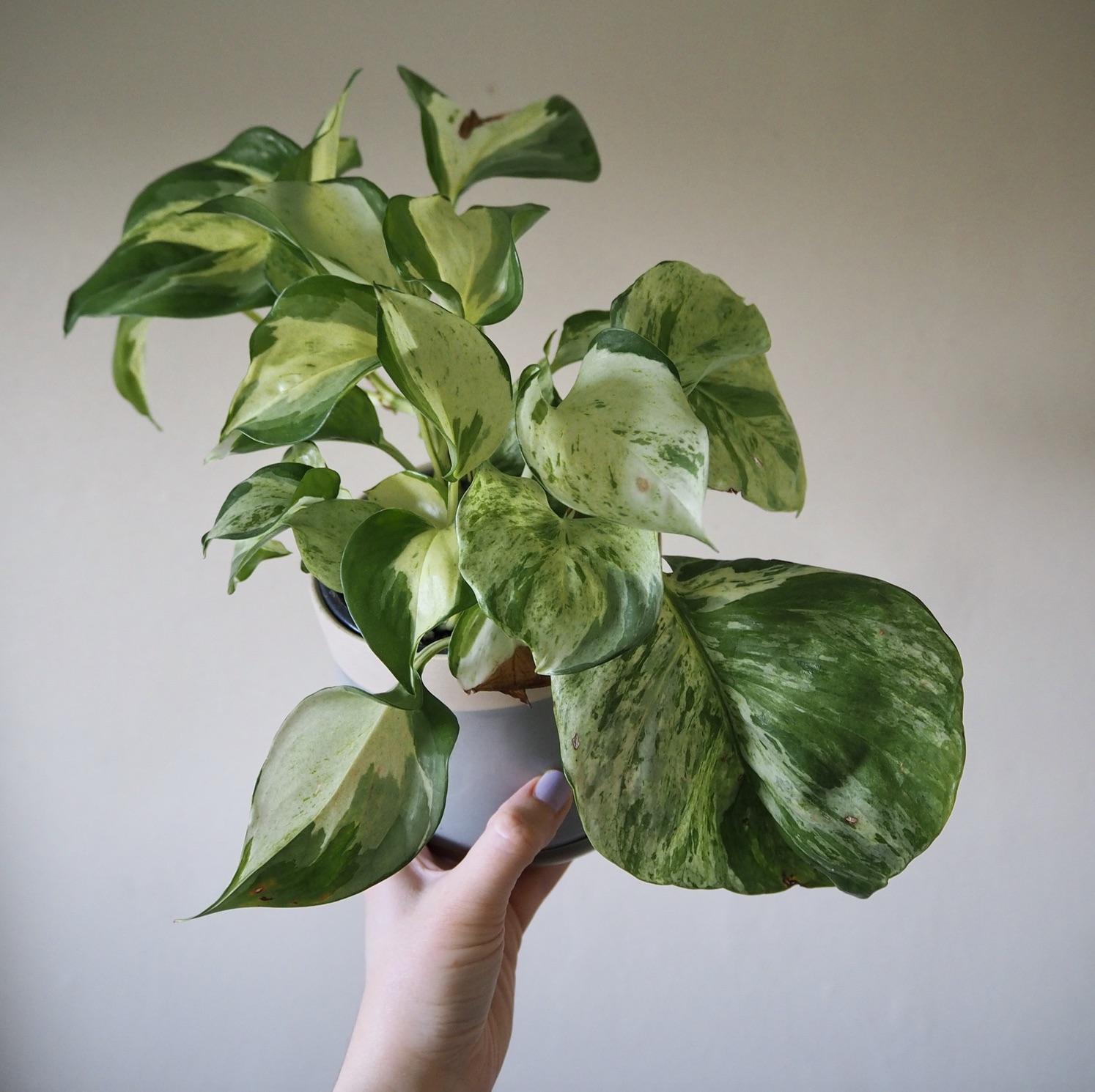 Repotting Diaries 3 Manjula Maranta Dracaena New Plant Purchases Houseplanthouse