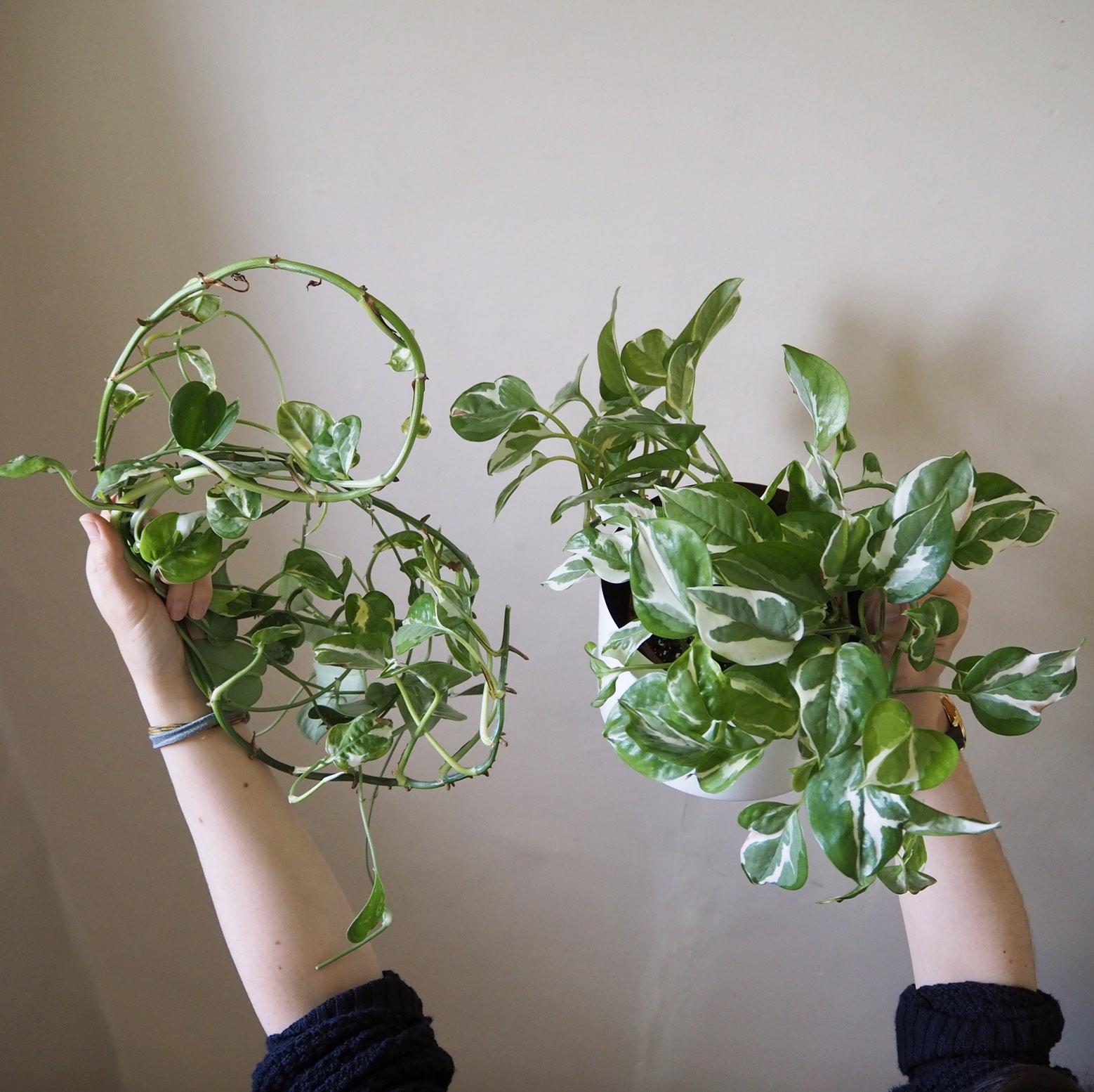 Repotting Diaries 4 N Joy Silvery Ann Pilea Fishbone Cactus Zz Plant Houseplanthouse