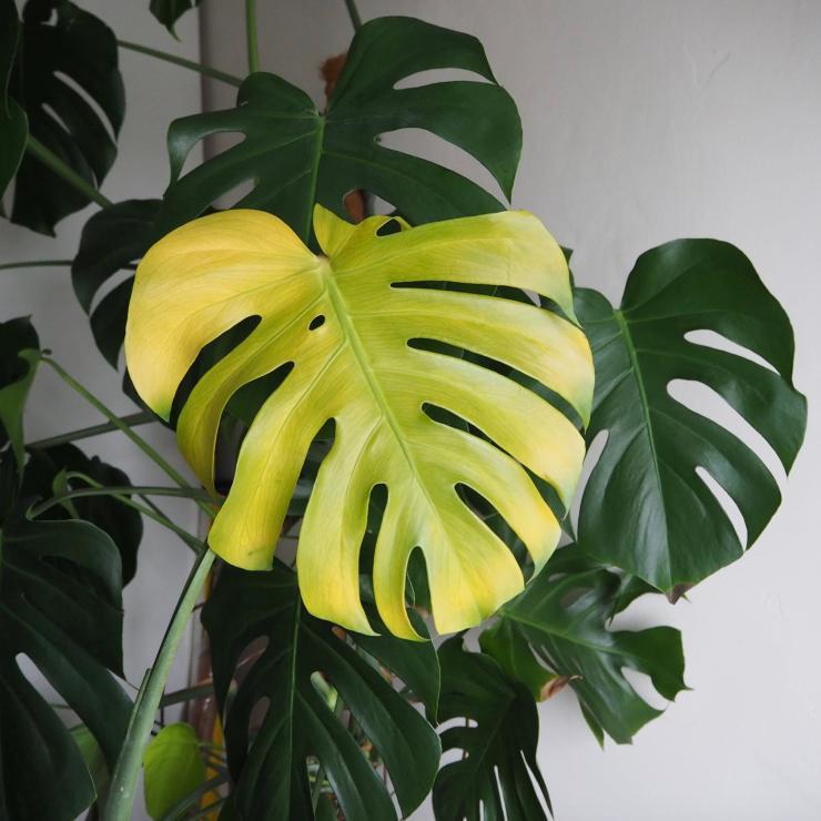monstera yellow1