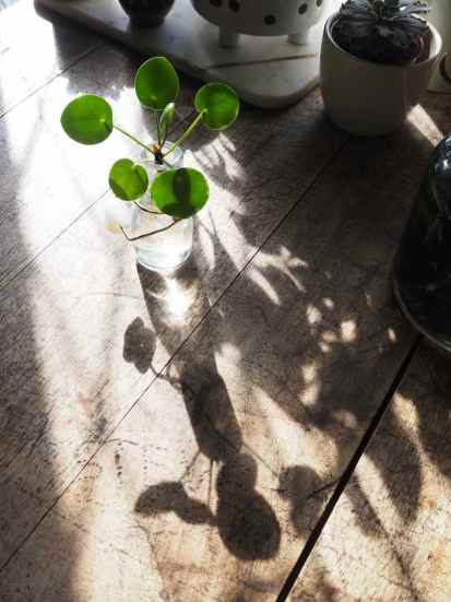pilea shadow