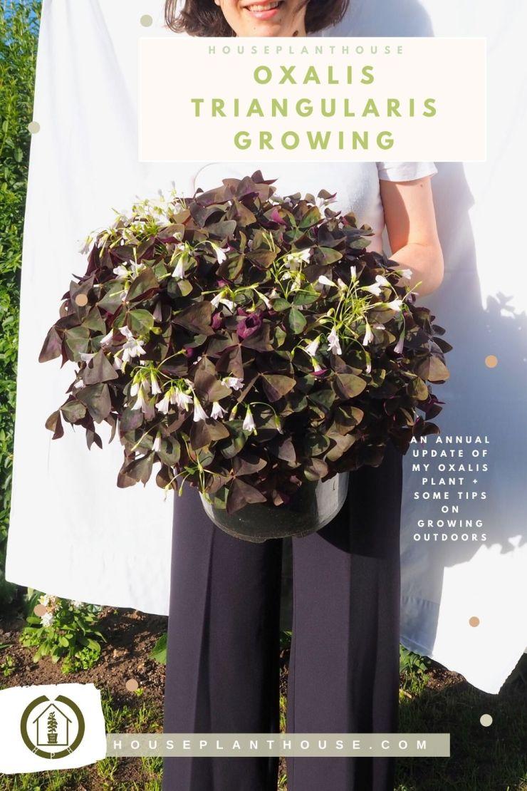 oxalis growing