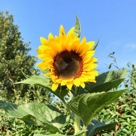 first sunflower
