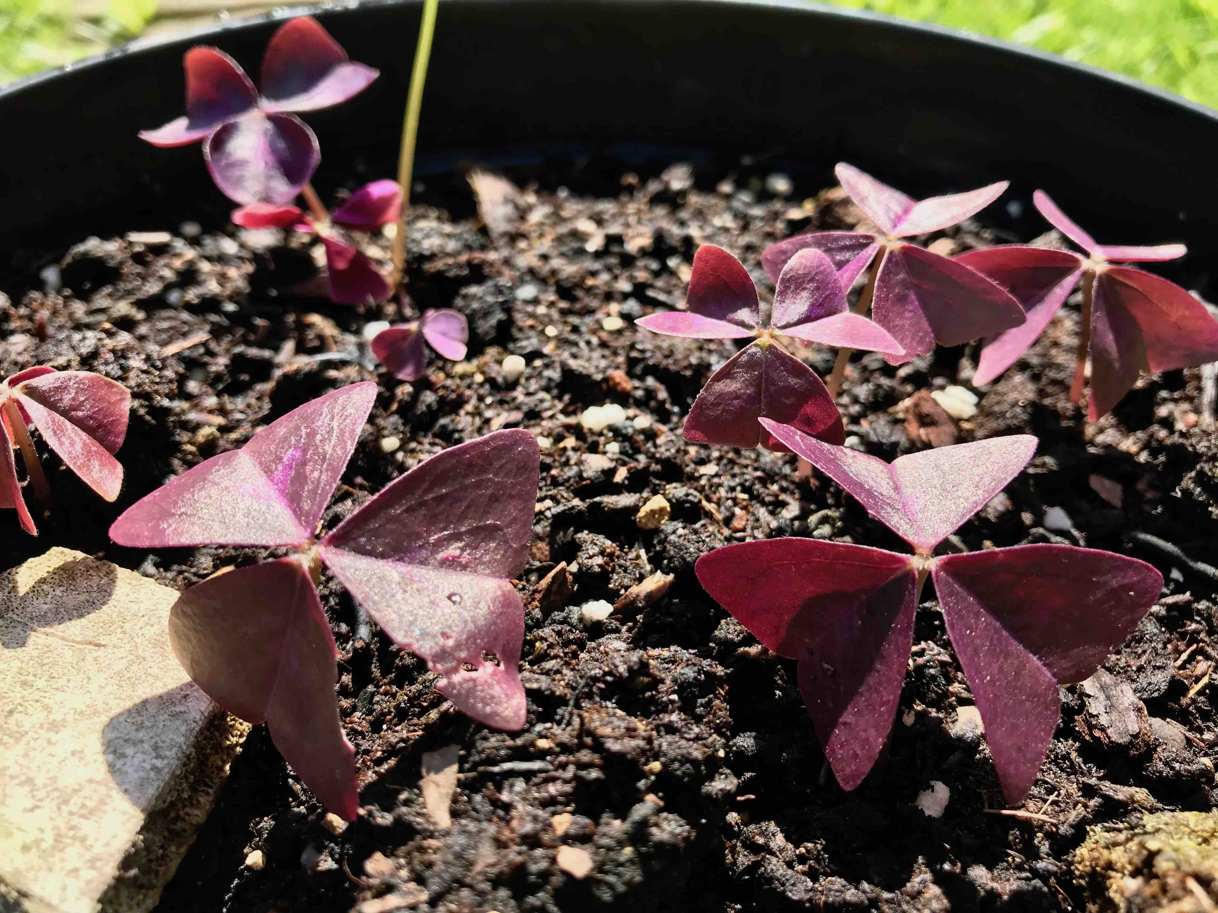 oxalis re birth