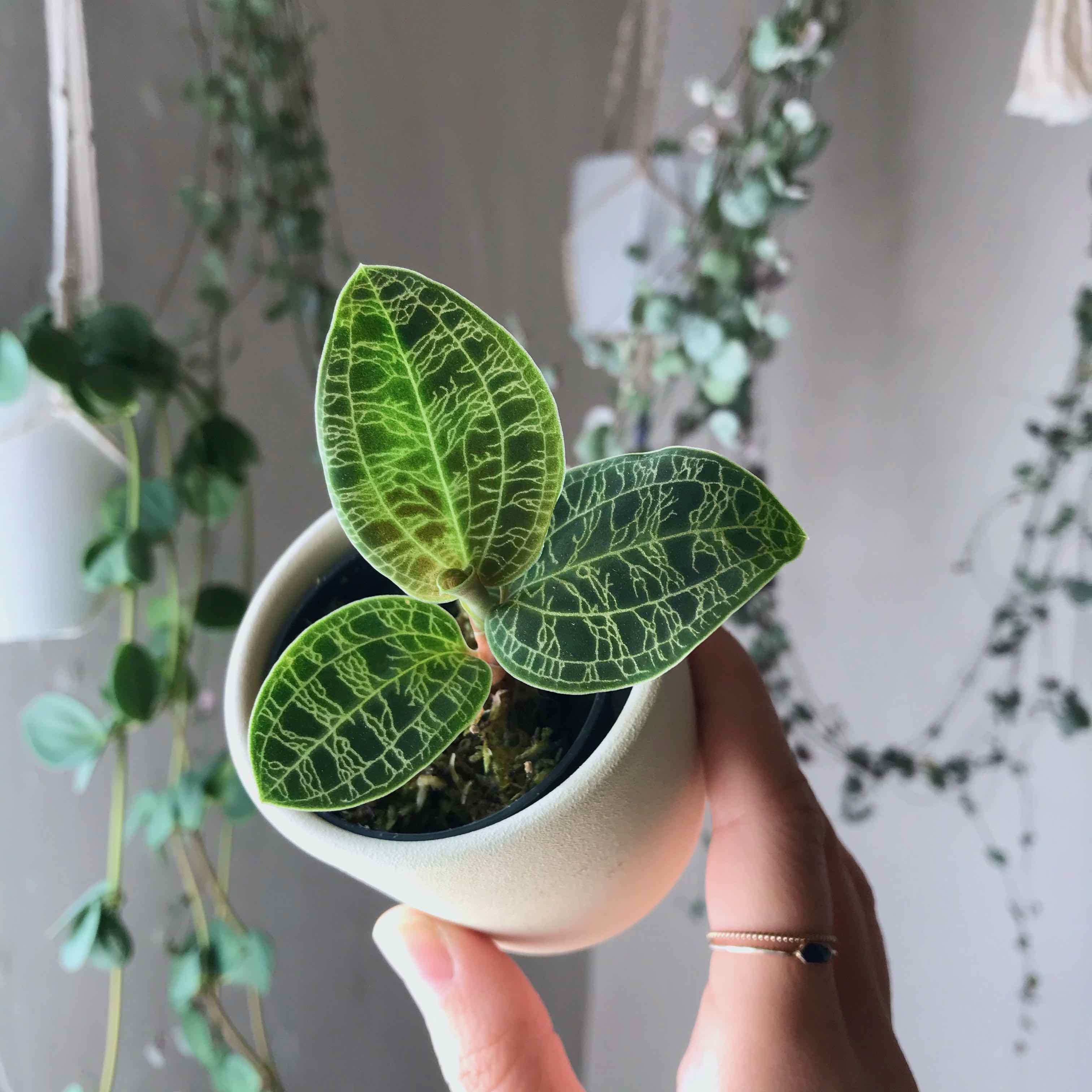 How To Care For Jewel Orchids Macodes Petola Ludisia Discolor Houseplanthouse